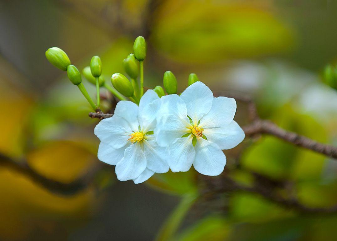 Hoa mai trắng | Hình Ảnh | Trees I love | Pinterest ...