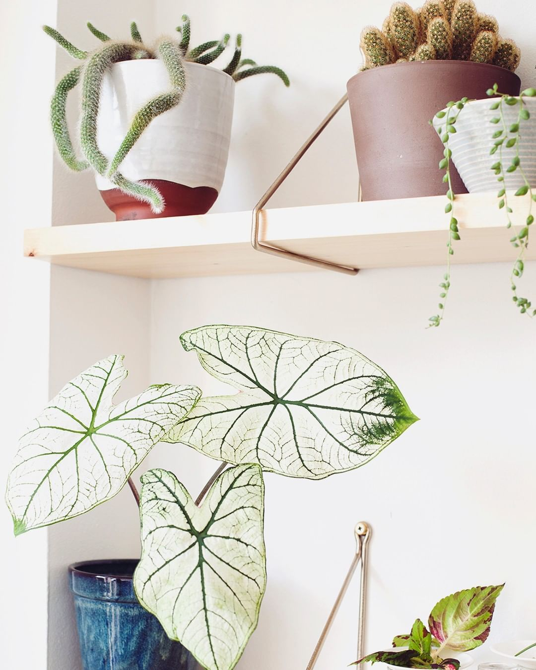 caladium white christmas houseplants indoor plants plants