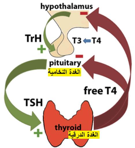 تحليل هرمون الغدة الدرقية الثيروكسين الحر Free Thyroxine Ft4 T4 Mario Characters Fictional Characters Thyroid