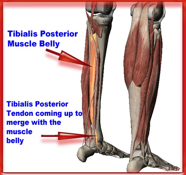 M Tibialis Posterior - Google Search | ANATOMIA | Pinterest | Anatomía