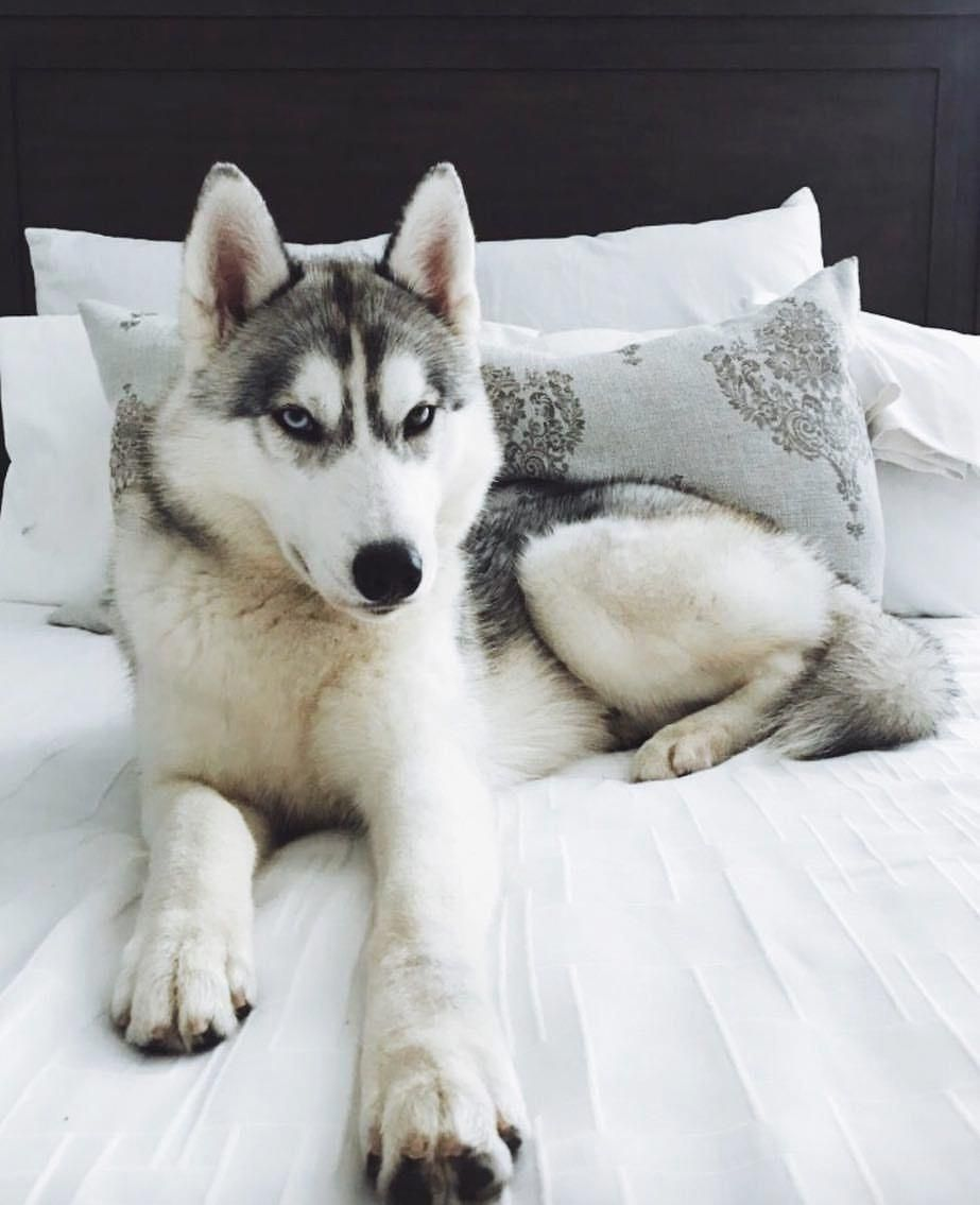 Siberian Husky All About