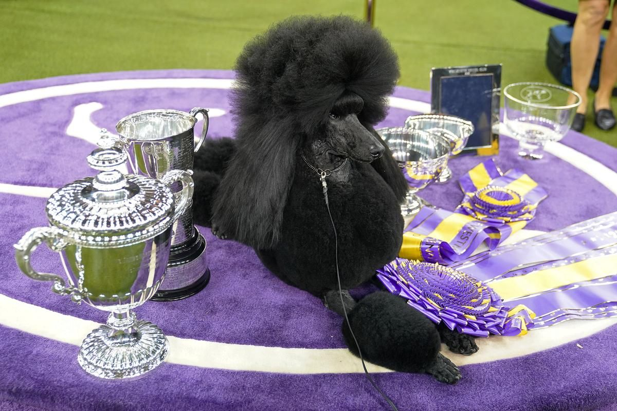 Standard Poodle Crowned Top Dog In Finale Of Westminster Kennel