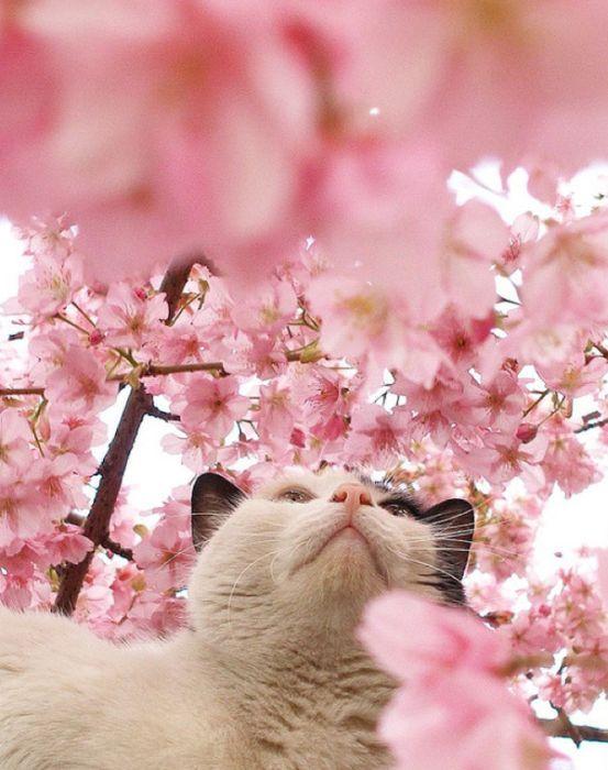Cherry Blossom Tree Cats 20 Pics Bunga Sakura Kucing Dan Anak Kucing Sakura