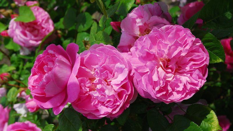 Rosor som Poppius går att odla i hela landet