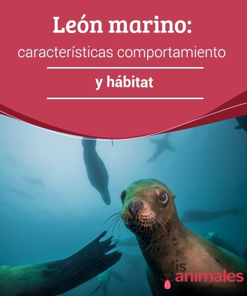 León marino: características comportamiento y hábitat   Animales ...