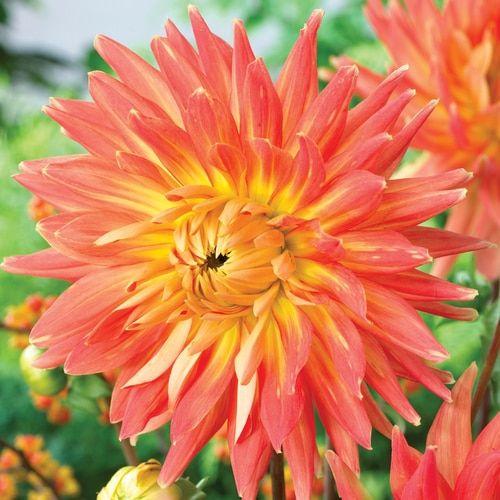 3 Count Motto Dahlia Bulbs Lowes Com In 2020 Planting Bulbs Bulbs And Seeds Plants