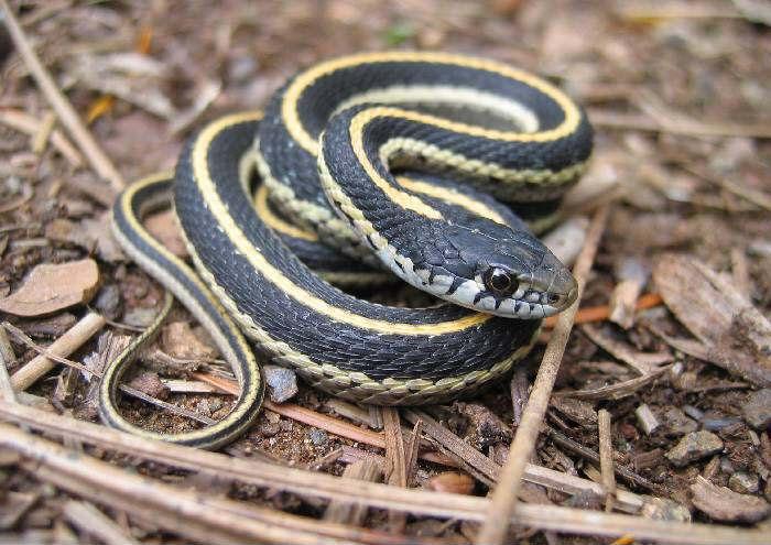 Western Terrestrial Garter Snake Juvenile Snake Facts Snake