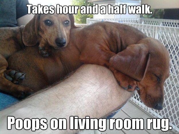 Best Dachshund Memes Sausage Dog Central Dachshund Memes