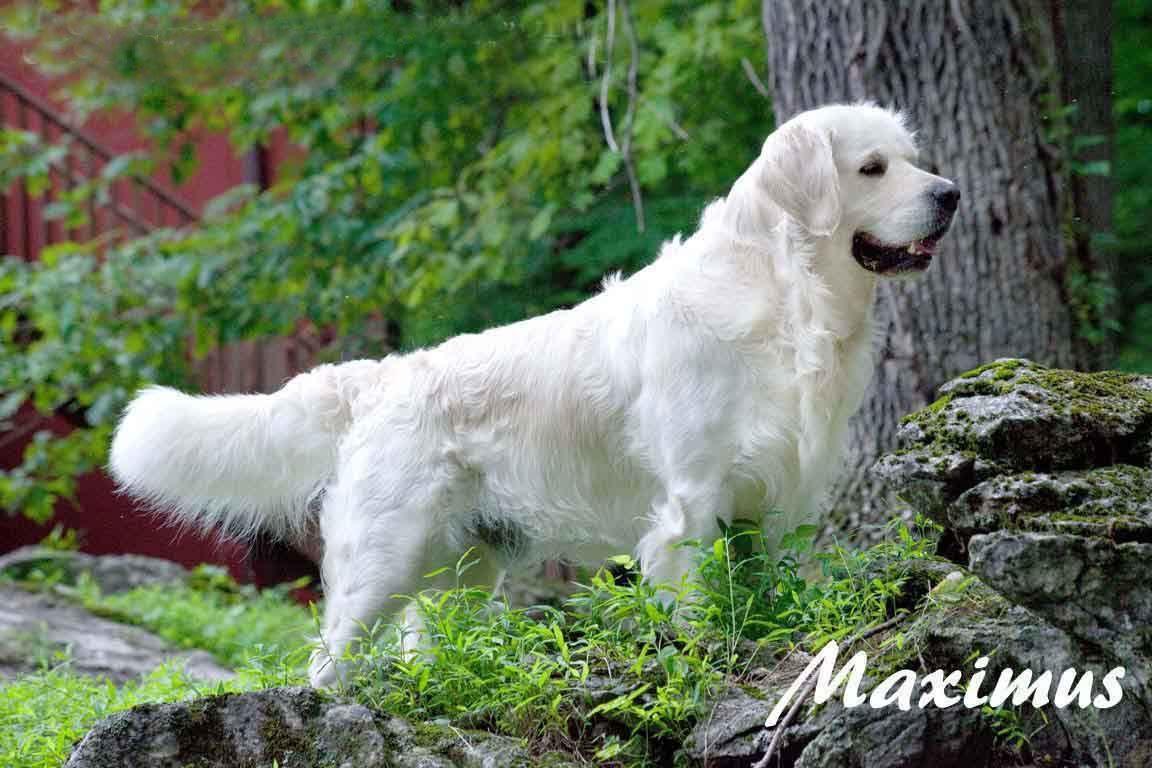 White Golden Retriever Puppies English Cream Akc Certified