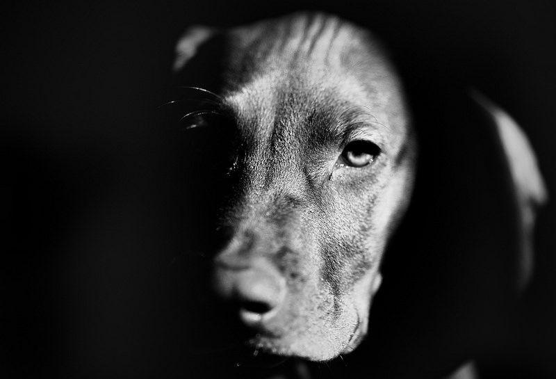 IMG_4470Edit Vizsla puppies, Vizsla, Puppies