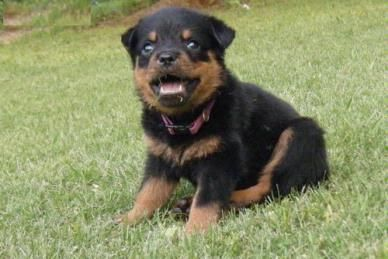 Colorful Pictures Of Rotties Rottweiler Puppy For Sale Miami Fl Rottweiler Puppies Rottweiler Puppies For Sale Pet Puppy