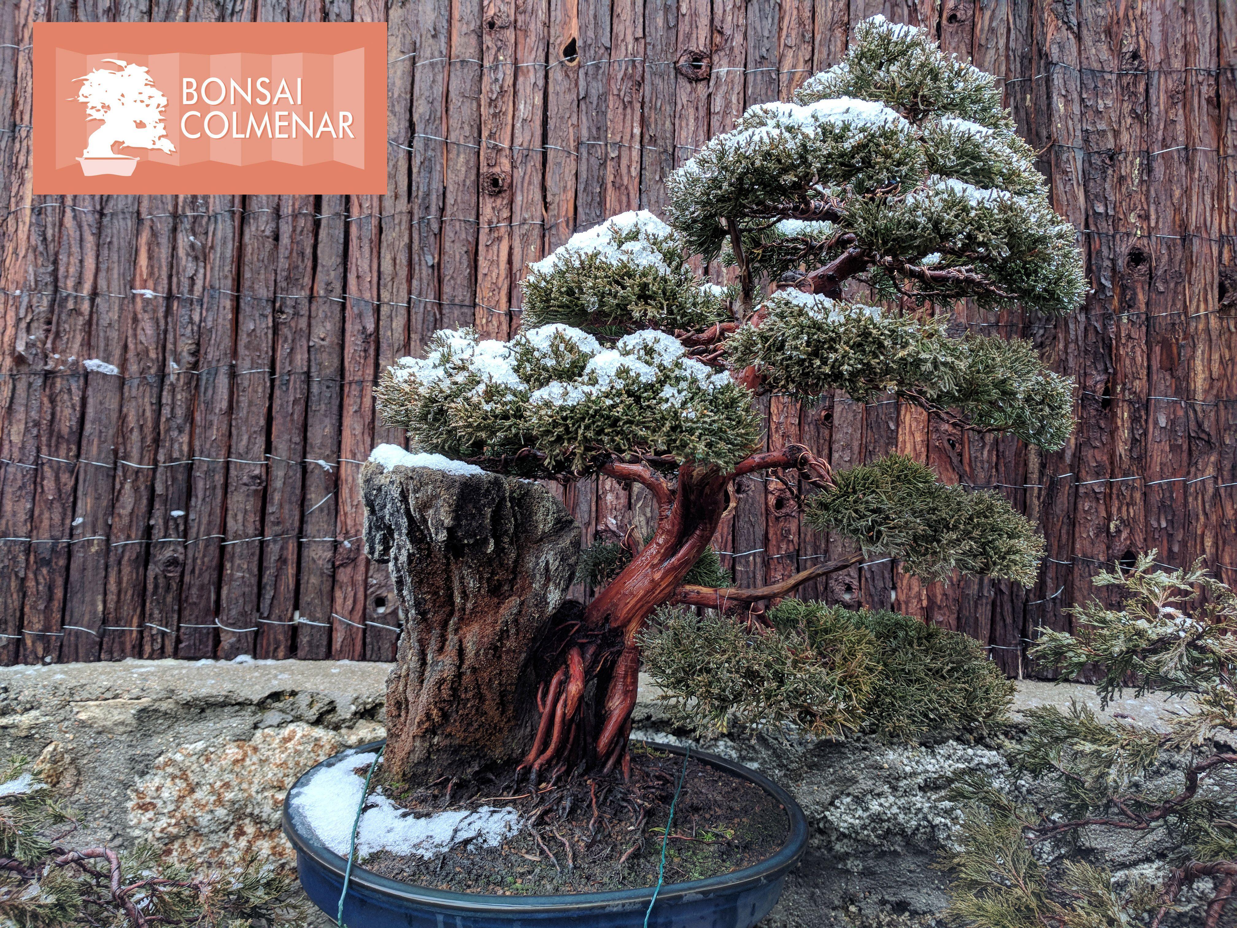 Junípero Un Ejemplo De Lo Que Encontrarás En Nuestra Tienda Y Escuela De Bonsai Www Bonsaicolmenar Com Bonsai árboles Bonsai Jardines Japoneses