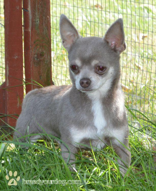Types Of Chihuahua Breeds Kc Chihuahua Smoothcoat Lilac At Stud