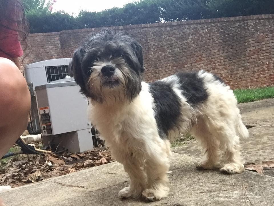 Found Dog Shih Tzu Bethlehem Ga United States Dogs Found