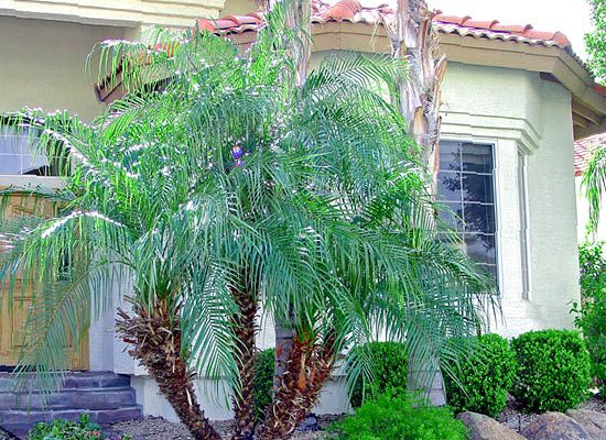 Pygmy Date Palms Are Our Most Popular Selling Dwarf Palm In Houston Great For Pools Patios And Courtyards Cold Hardy Palm Trees Backyard Backyard Garden Design
