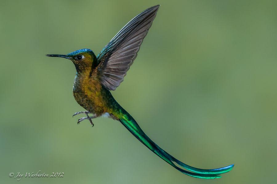 Beautiful Hummingbird by Jay Warbzz, via 500px