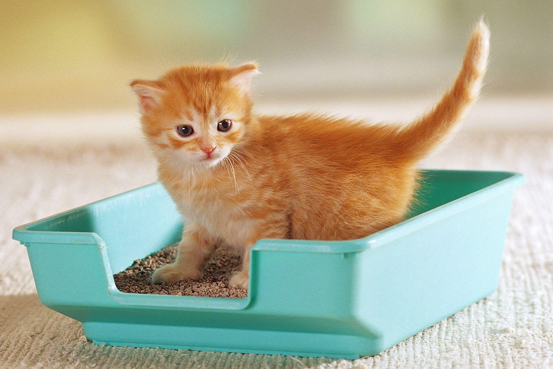 Quiz Do You Know The Litter Box Essentials Best Cat Litter Litter Training Kittens Litter Box