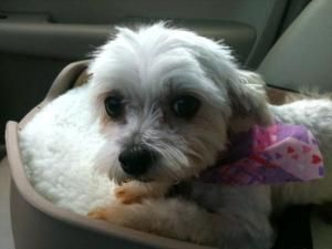 Adopt Lulu On Rescue Puppies Maltese Dogs Pet O