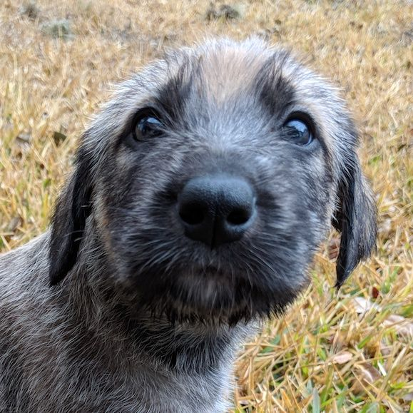 Litter of 5 Irish Wolfhound puppies for sale in NEW