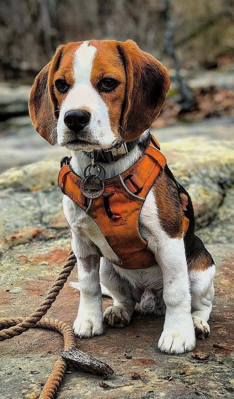 Beagle Dog Leash Walk Me Hooman Dog Behavior Cute Beagles