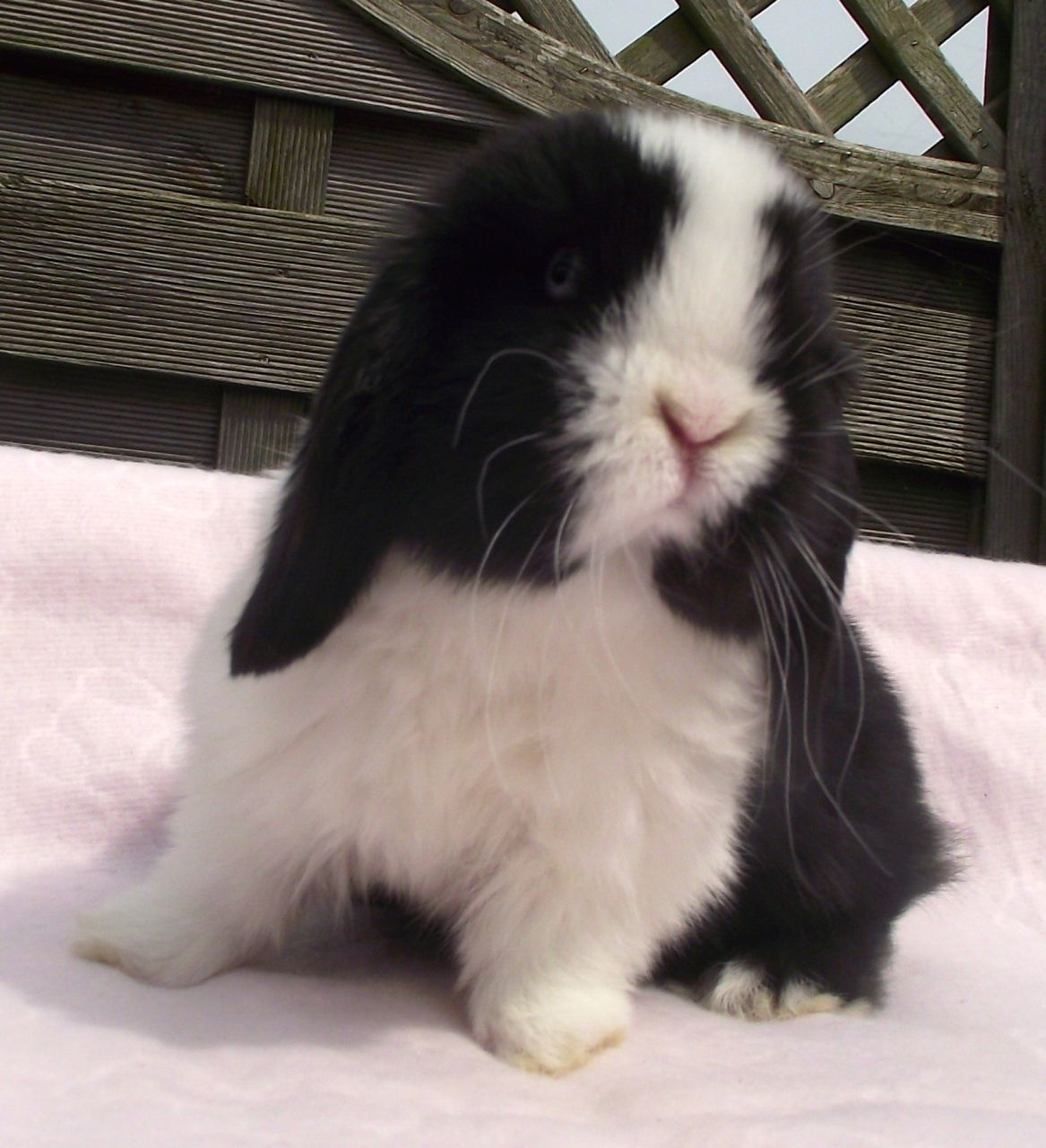 Black Dutch Split Mini Lop Baby Rabbit Reserved Cute Baby