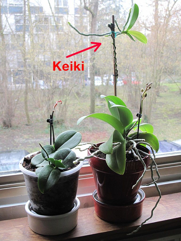 Photo Phalaenopsis Orchid With Keiki Baby Orchid Offshoot Orchid Plant Care Growing Orchids Orchid Propagation