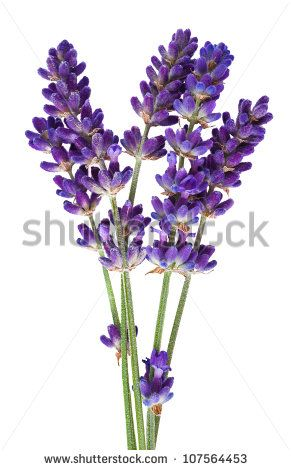Lavender Flower Isolated On White Stock Photo Aguarela Lavanda Flores