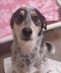 Artemus Jones Is An Adoptable Australian Cattle Dog Blue Heeler