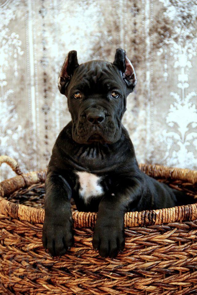 Featured Pix Bull Mastiff Puppies Mastiff Puppies Bull Mastiff