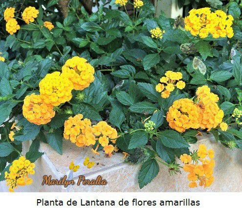 Lantana o do a sanica rep blica dominicana las plantas - Planta verbena cuidados ...