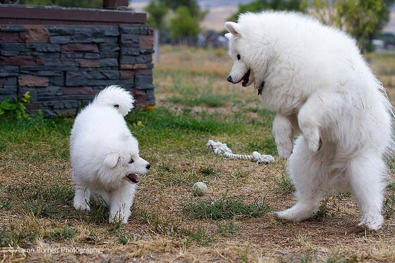 Samoyed Huskies > aaronburnett.smugmug.com