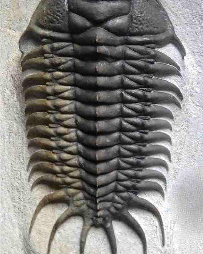 "Crotalocephalus africanus ""Trilobite"" Geology"