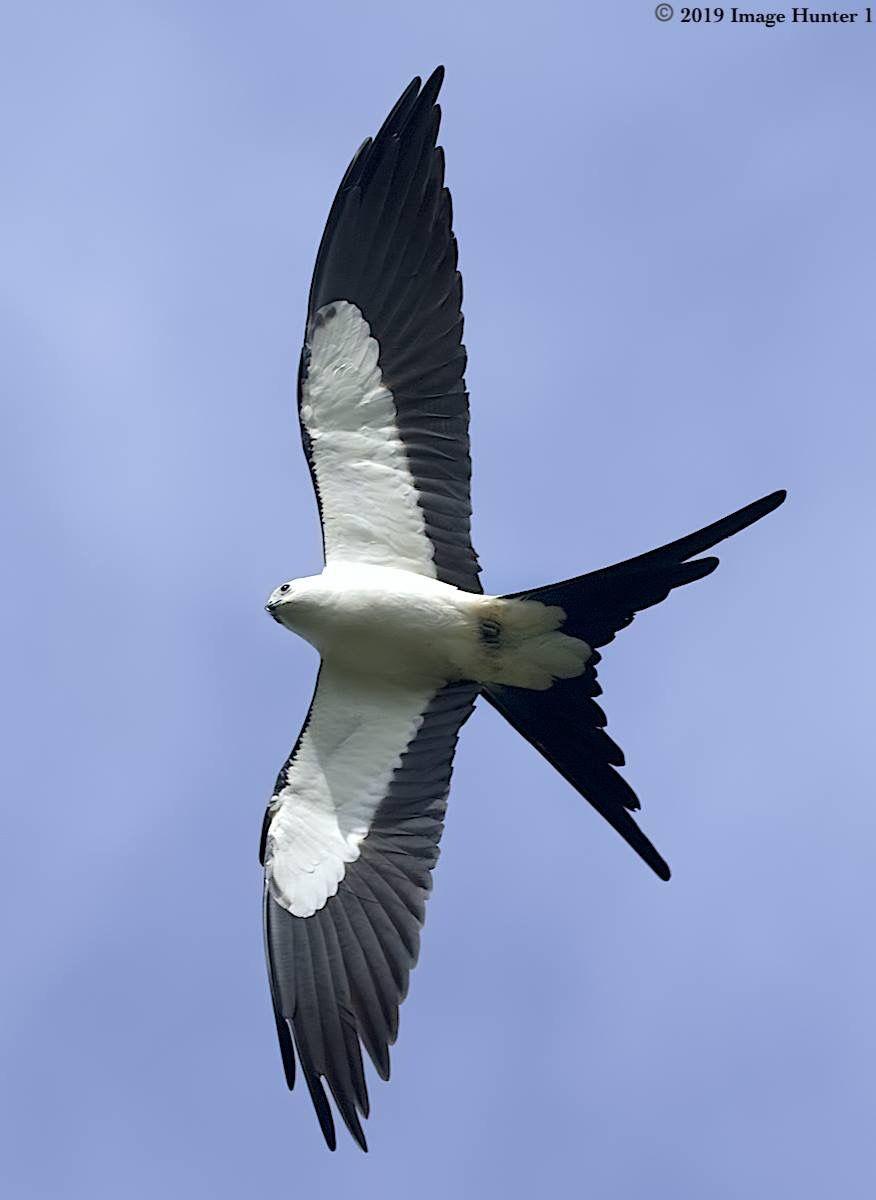 Swallow Tailed Kite Lake Martin Louisiana 03 11 19 Birds Of Prey Beautiful Birds Birds