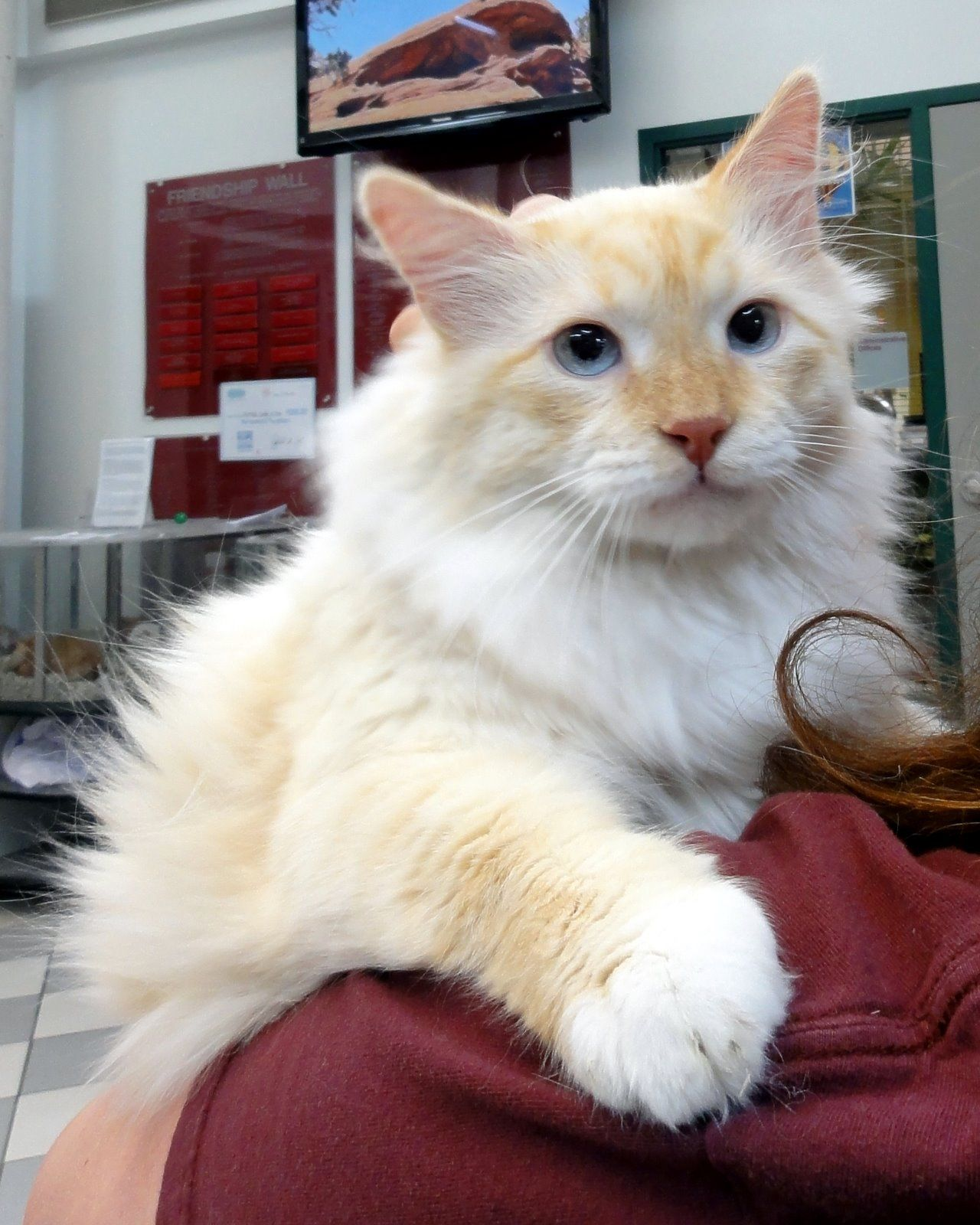 Long Hair Flame Point Siamese Cats | We are Siamese if you please ...