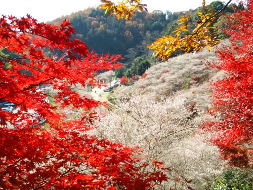 The village of Obara, near Toyota City, is famous for two main attractions. One is the special Shiki-zakura, a cherry tree that blooms in spring, and again in the peak of autumn, when the other trees...