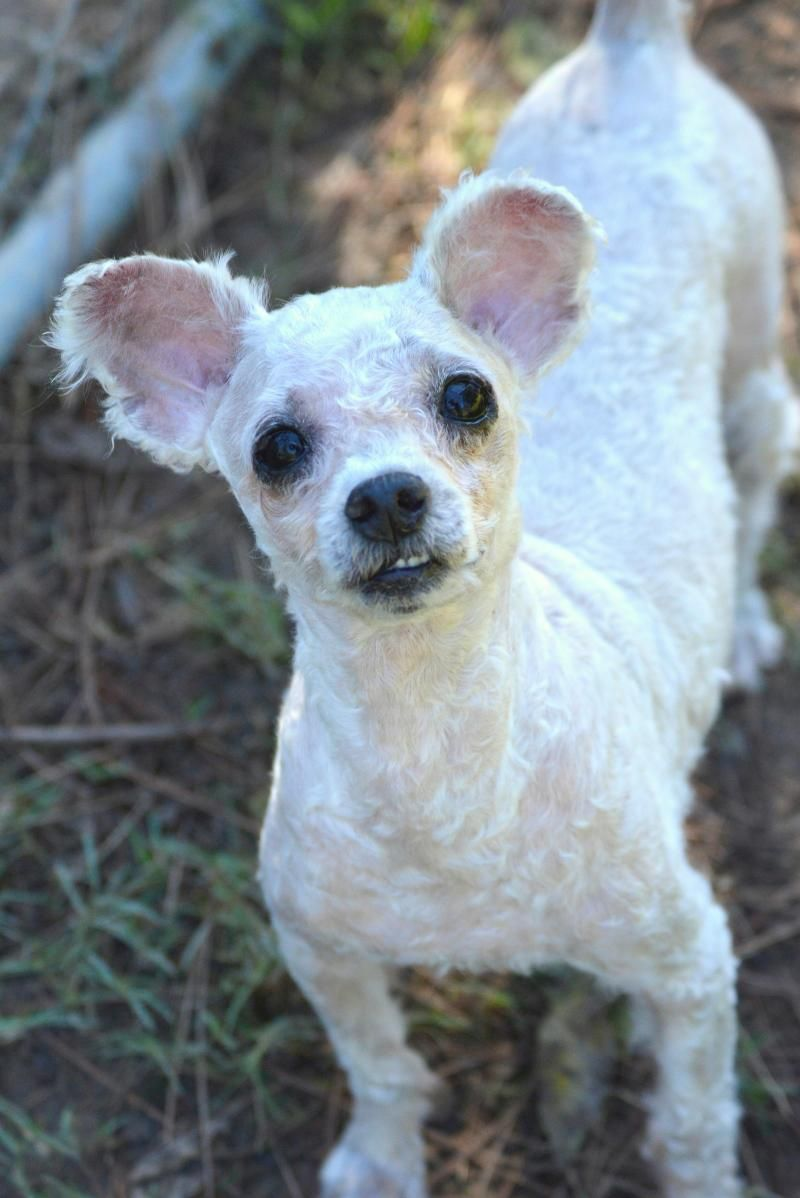 Adopt Sparky On Bichon Frise Animal Rescue Animals