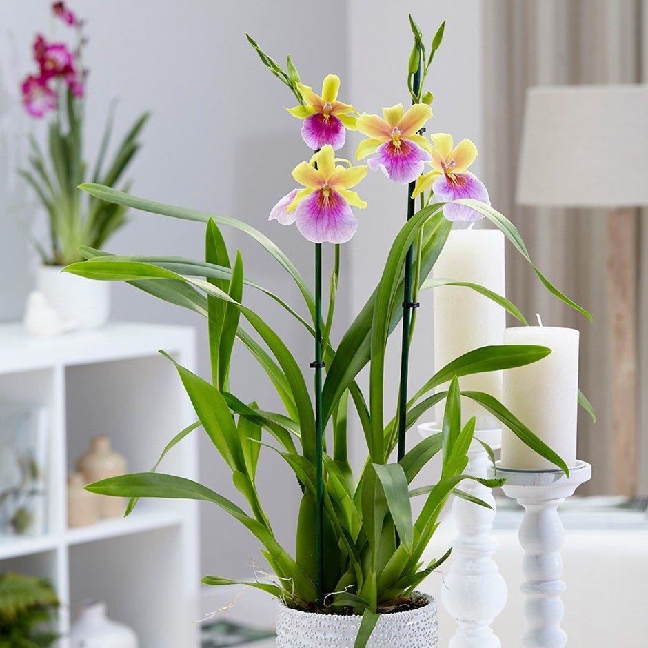 Miltonia ucsunsetud orchids pinterest orchid