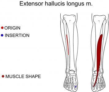 Tibialis anterior Übungen