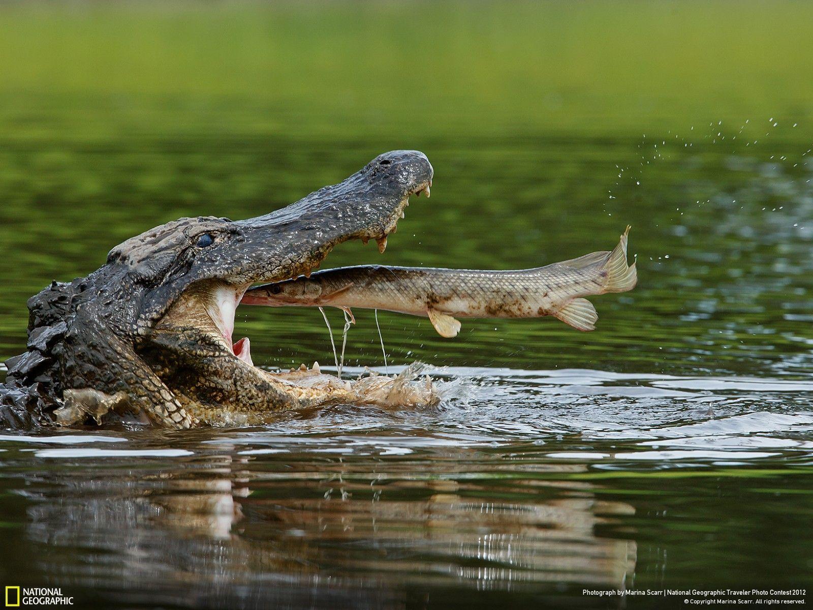 When the last wild crocodiles died in Russia