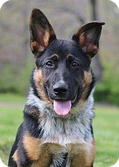 Nashville Tn Australian Cattle Dog German Shepherd Dog Mix