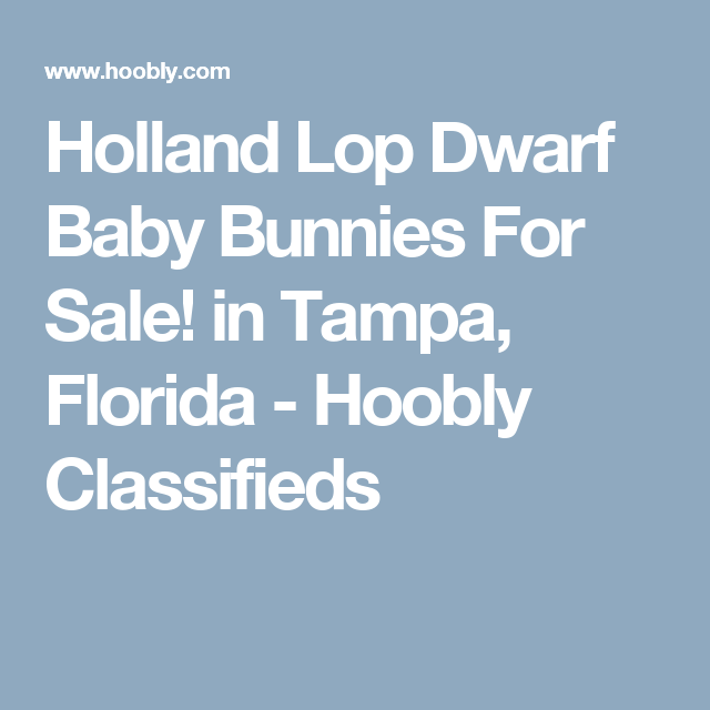 Holland Lop Dwarf Baby Bunnies For Sale! in Tampa, Florida - Hoobly Classifieds