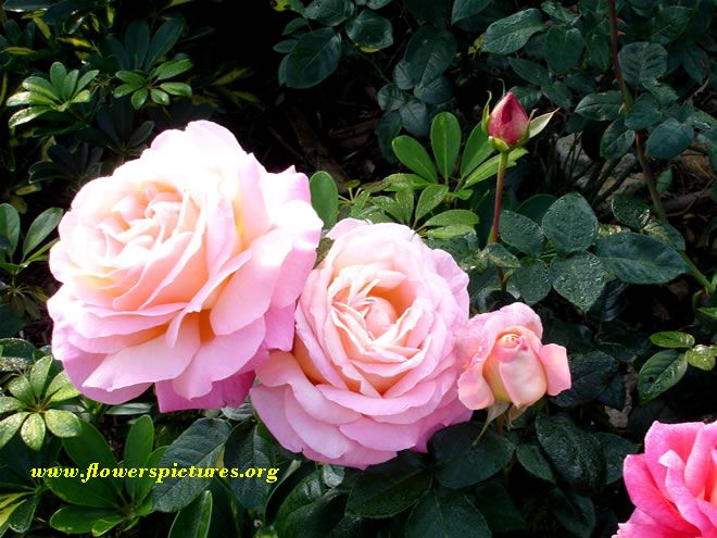 Large Bloom Roses The Garden Looks