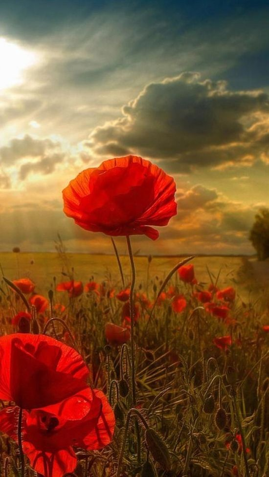 Sunlight poppies plants pinterest sunlight flowers and flower essay for remembrance day poppy an essay or paper on remembrance day on remembrance day we wear the poppy a blood red flower which grew in the fields mightylinksfo