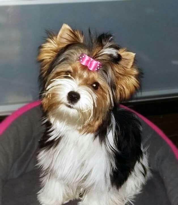 Pin By Geneva Rothrock On Biewer York Terier Biewer Yorkie Yorkshire Terrier Yorkshire Terrier Puppies