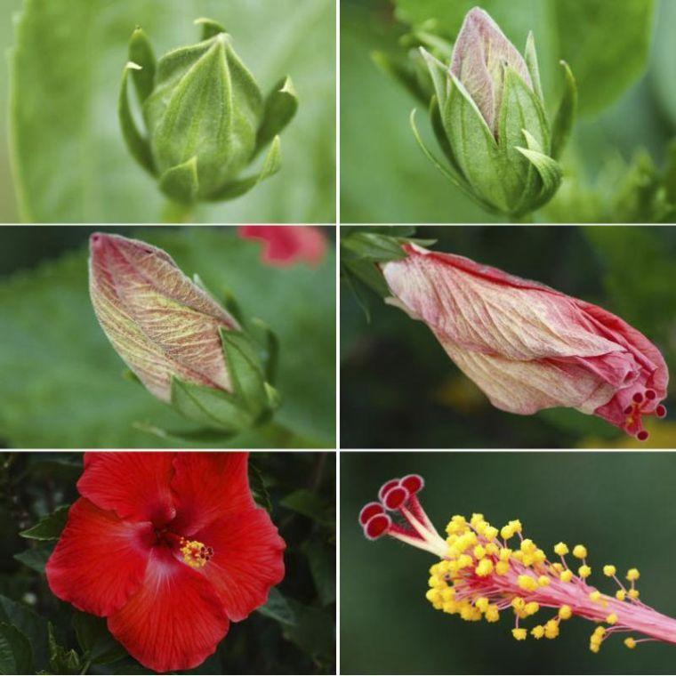 entretien hibiscus conseils et astuces pour des plantes en bonne sant pinterest hibiscus. Black Bedroom Furniture Sets. Home Design Ideas