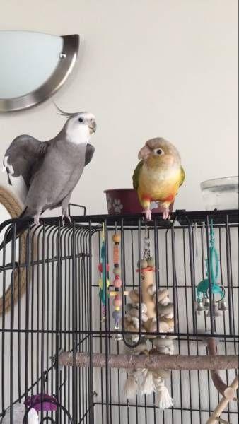 LOST COCKATIEL: 05/29/2017 - Marina del Rey, Los Angeles, California, CA, United States. Ref#: L30735 - #ParrotAlert #LostBird #LostParrot #MissingBird #MissingParrot #LostCockatiel #MissingCockatiel