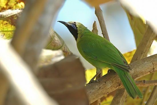Jerdon's Leafbird - forest and woodland in India & Sri Lanka