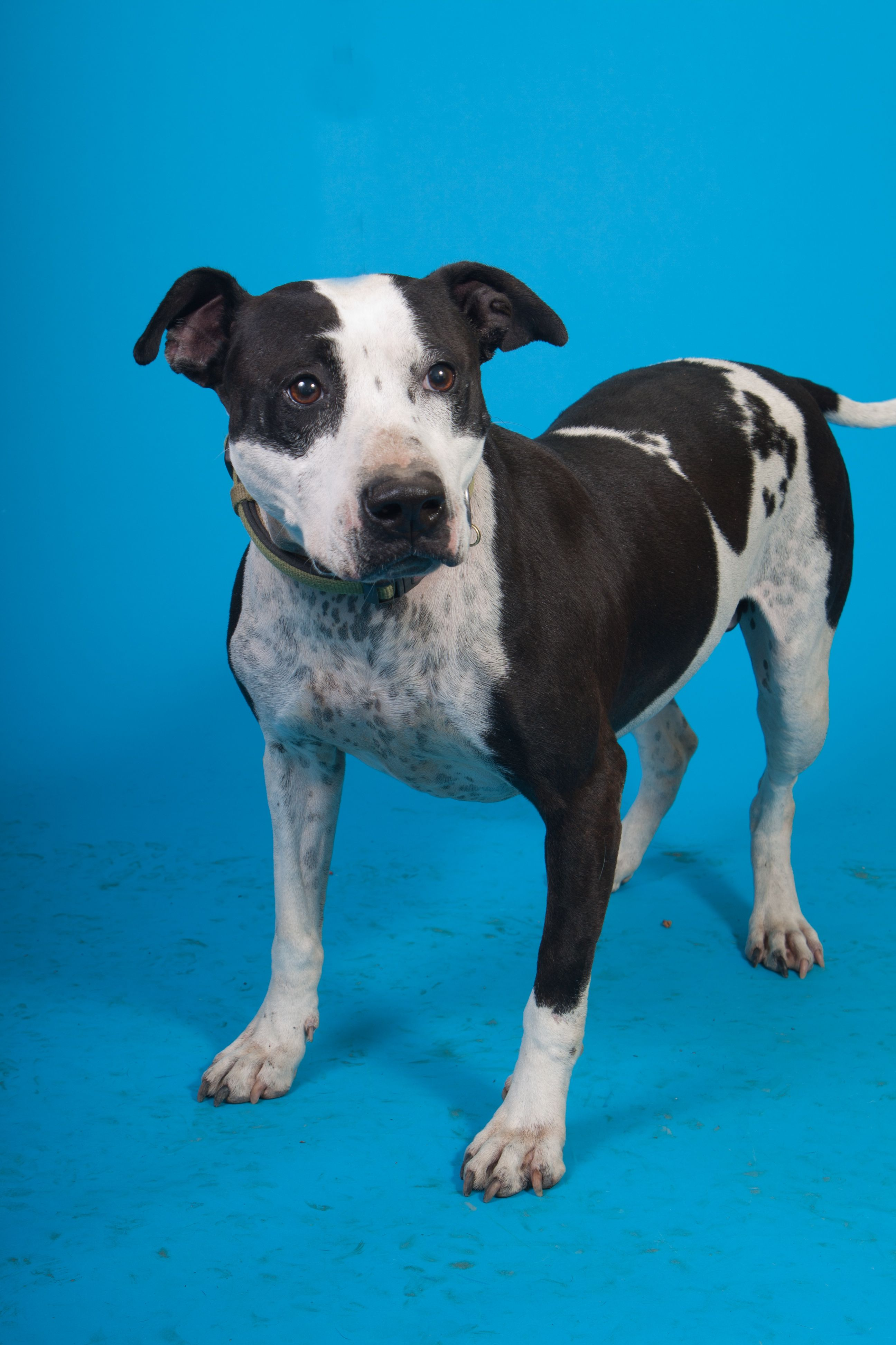 Adopt Spot on Black and white dog, Terrier mix dogs