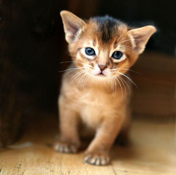 Abyssinian Cat Kitten