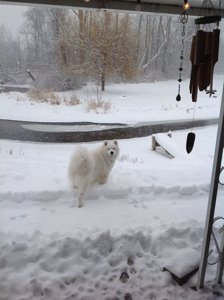 """Samoyed """"Willow""""  1st snow storm of 2014"""